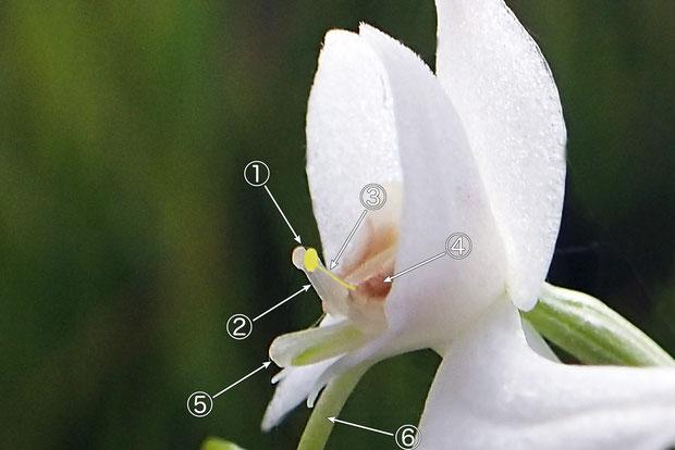 #6 オオミズトンボの花の各部の名称(側面2)