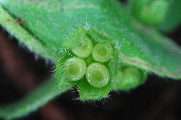 シロバナヤマルリソウの果実  2017.05.09 上で示してきた個体の果実です。