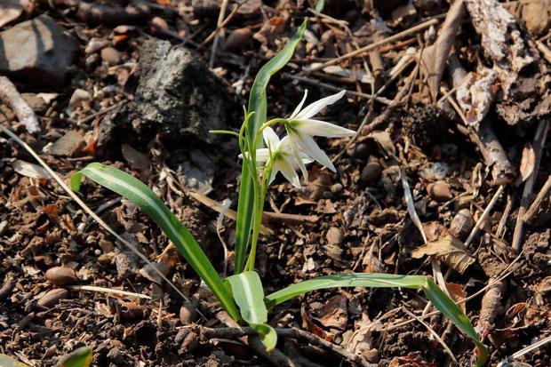 ヒロハノアマナの根生葉に見える葉は、実は茎葉。 線形の苞葉が3個あることもアマナとの識別点(アマナは2個)