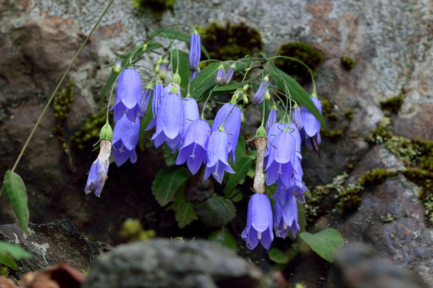 イワシャジンは、やや湿った岩肌に多く見られた。 花は10個程度つく。 終わった花も、これから咲く蕾もあった。