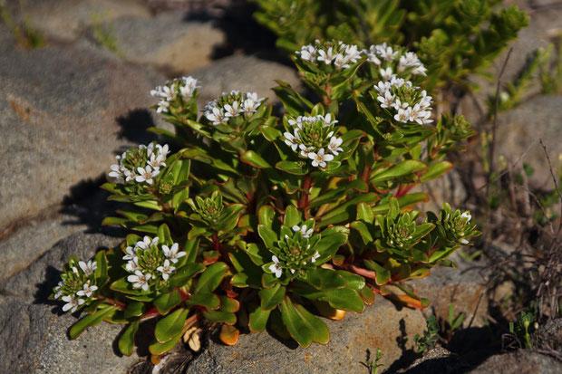 ハマボッス (浜払子) サクラソウ科 オカトラノオ属  海岸植物らしく、葉は厚く光沢がある