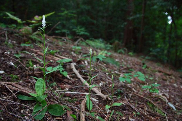 咲き出したシライトソウ  高さが違う3株が並んでいました
