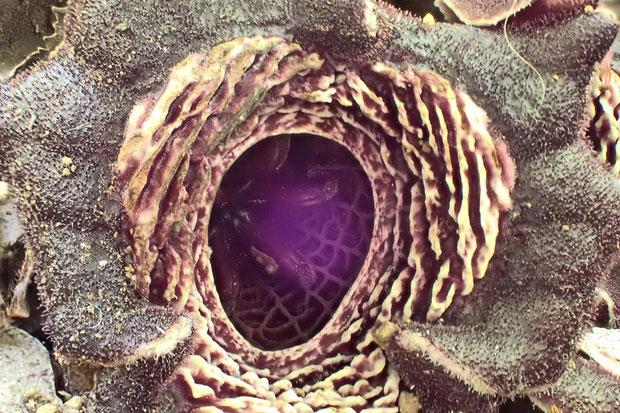 タマノカンアオイ  なんとか萼筒の内面を撮影できた!