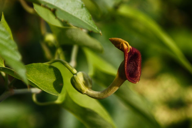 ウマノスズクサの花は、まるでサクソフォンのようだ。 花弁はなく、3個の萼片が合着して筒状になり、先端は広がります
