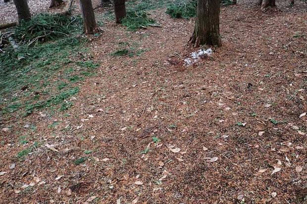 セリバオウレンが埋めつくすほど咲くこともあるのに、時期が早すぎた! 目を凝らしても見当たらないが...