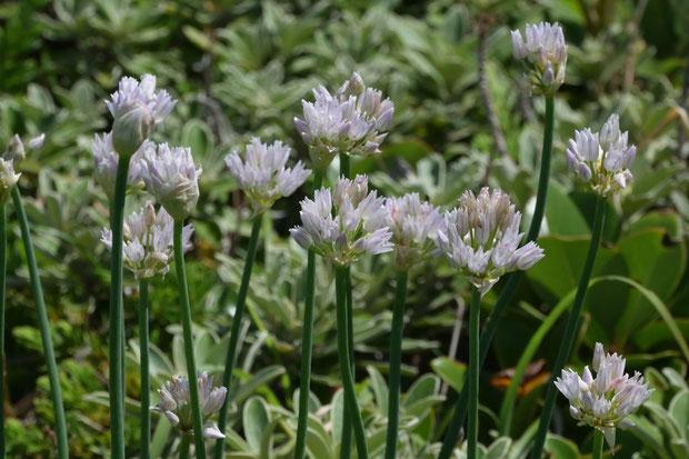 モモイロイズアサツキは、イズアサツキとともに、伊豆半島・三浦半島の一部にのみ生育する、絶滅危惧ⅠB類に指定された植物