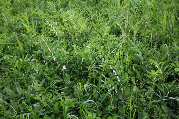 アマドコロ (甘野老) キジカクシ科 アマドコロ属  たくさん群れている場所があった