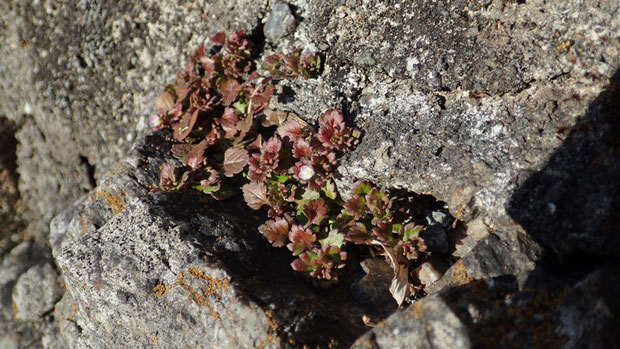 更に近づくと... ようやくイヌノフグリとわかる... しかも気が早い花が咲いていた!