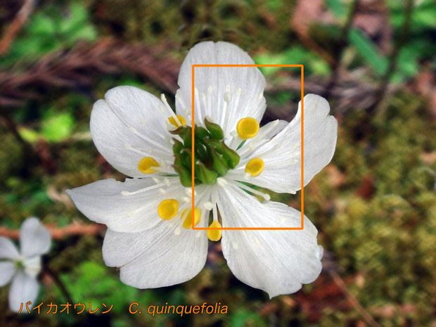 #10 バイカオウレンの花  花弁舷部の形状に注目して下さい  2013.04.20 長野県