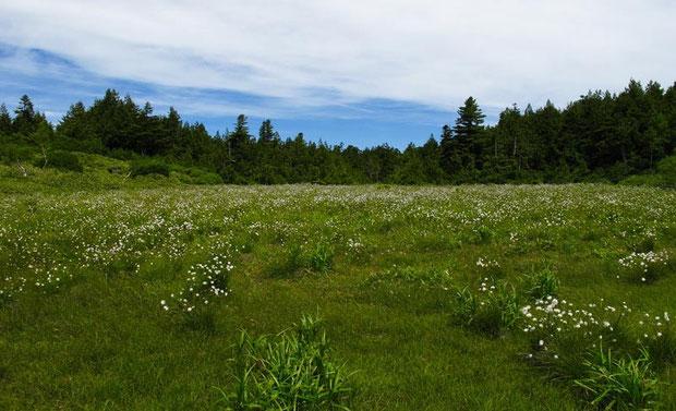 前山湿原のワタスゲ 湿原はやや乾燥化が進んでいるように見えた