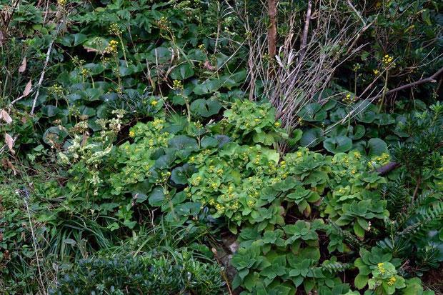 ツワブキ、ラセイタソウ、トベラなどの海岸植物と競うように咲いていた