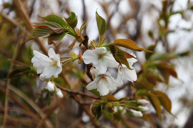 オオシマザクラ (大島桜) バラ科 サクラ属  葉柄の蜜腺の付き方から本種と判断しました