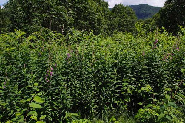 ヤナギラン (柳蘭) アカバナ科 ヤナギラン属  葉が柳に、花がランに似ていることが名の由来という