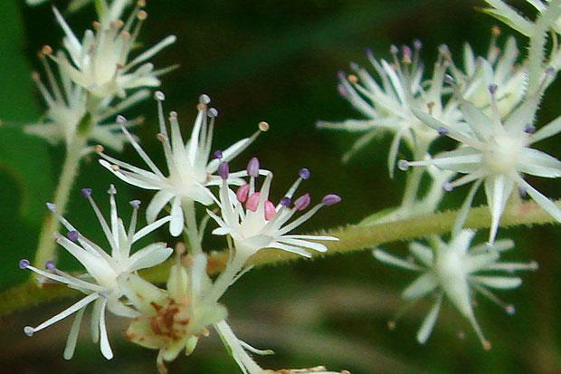 ヒトツバショウマの雄しべは10個ですが、若い花の内側の5個は短く葯がピンク色、外側5個は長く葯が紫色でした。