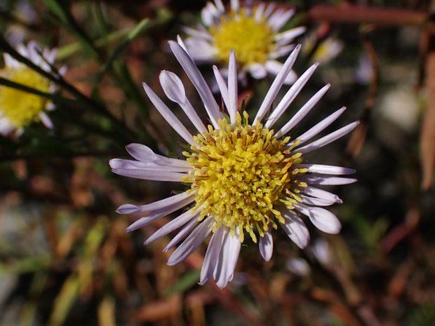 舌状花の基部からストロー状なのか、舌状花が強く内側に巻き込み筒状になっているのかは不明。