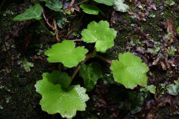 イズノシマダイモンジソウと思われる葉が数多くありました