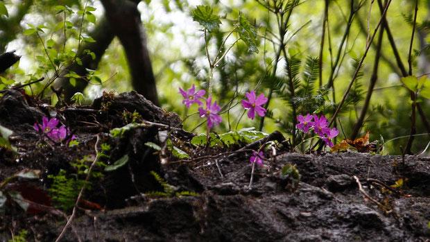 イワザクラ  石灰岩地に多いそうです 名の通り岩の上に咲きます