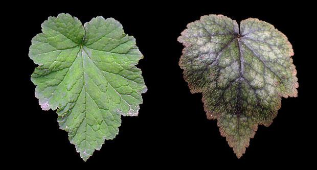#10 葉の形状比較 左:コシノチャルメルソウ(燕市)、右:ミカワチャルメルソウ(豊田市)