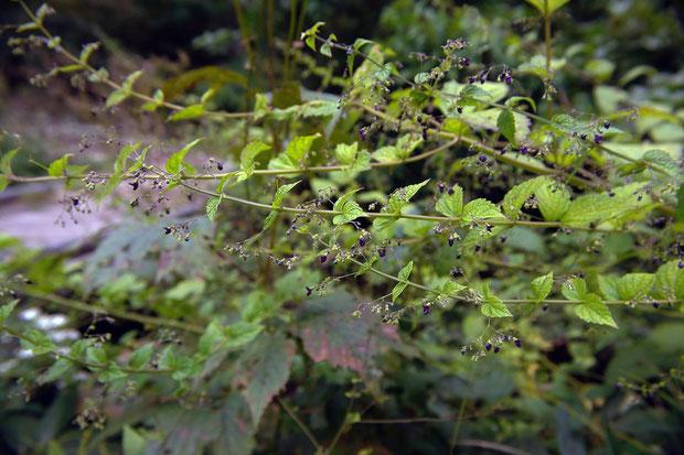クロバナヒキオコシ  2009.09.22 長野県 沼ノ原湿原