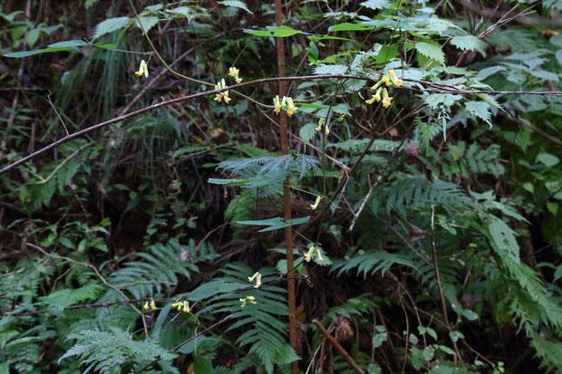 ノササゲ (野大角豆) マメ科 ノササゲ属  蔓性の植物。 この時期林縁などでよく目にします