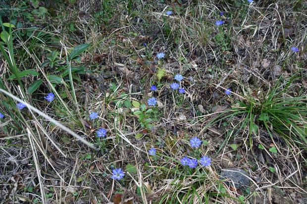 ハルリンドウ (春竜胆) リンドウ科 リンドウ属  たくさん咲き始めていた