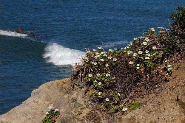強い潮風が吹きつける、人が近づけない断崖に咲く