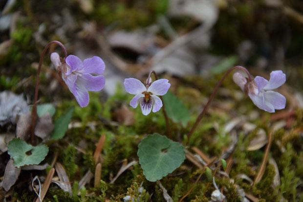 ヒナスミレ  やや紫色がかった、淡紅色の花がかわいい