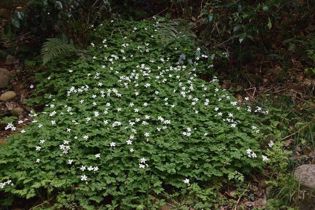 ニリンソウ (二輪草) キンポウゲ科 イチリンソウ属  ここでも花盛りだった ミドリは見つからず