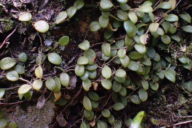 #7 マメヅタランの葉