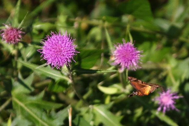 ホシホウジャク  目にも止まらぬ速さ(70回/秒)で羽ばたき、花から花へ素早く飛び回る