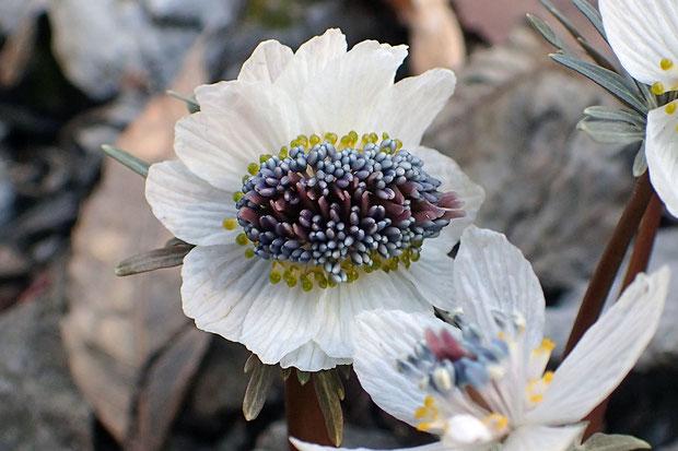 白い花弁状の萼片の数は15個で、通常の3倍、今までの最多だ。黄色い花弁やしべもそれに見合って多い!