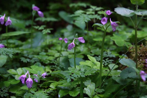 個人の庭にカモメランが自生するとは、なんとも羨ましい環境。 近くには沢があった