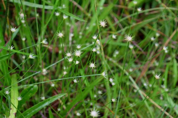 ニッポンイヌノヒゲ  (日本犬の髭) ホシクサ科 ホシクサ属  お初の花です 小さな湿原にいました
