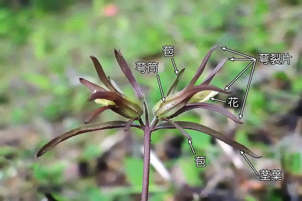 #6 クチナシグサの花の部位の名称