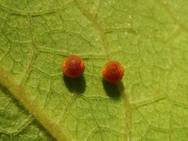 ジャコウアゲハの卵2