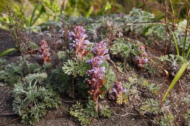 当然ながら、ハマウツボはカワラヨモギの近くにしかいません。 葉は退化し鱗片状になり目立ちません