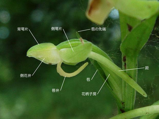 オオバノトンボソウの花の側面