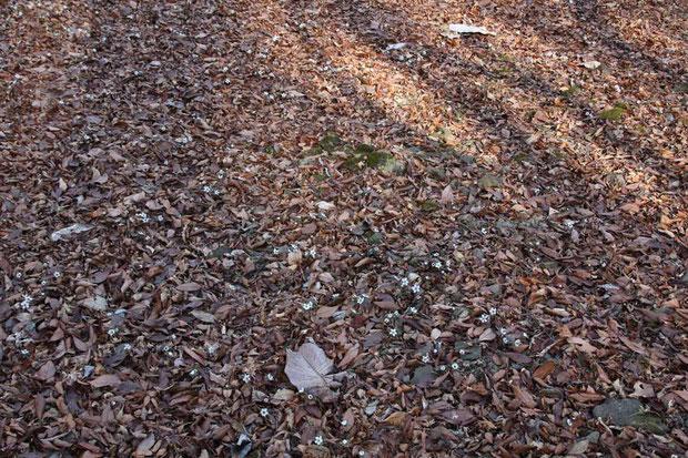 小鹿野町のセツブンソウ自生地(管理されています)。広い緩斜面にセツブンソウが咲き始めていた。