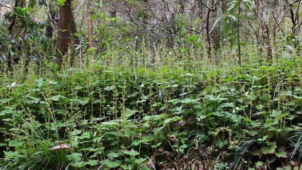コチャルメルソウの森