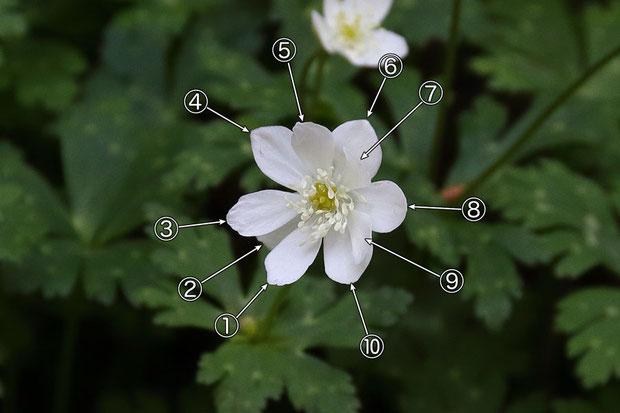 通常の倍の10個の萼片をもつニリンソウの花。