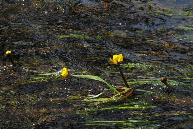 ナガレコウホネ (流れ河骨) スイレン科  世界初の沈水性のコウホネ属