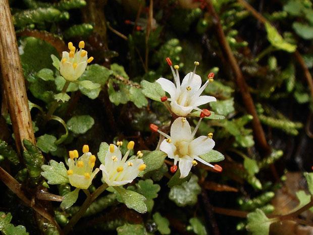 葯が黄色の花は、萼片もわずかにクリーム色帯びています。 花粉はどれも黄色でした。