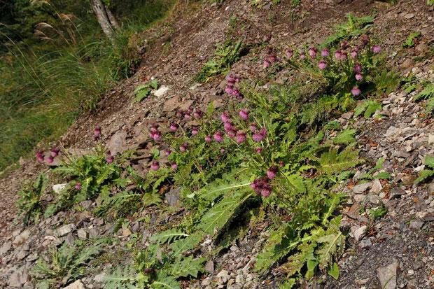 フジアザミ (富士薊) キク科 アザミ属  ガレ場の斜面にたくさん咲いていた
