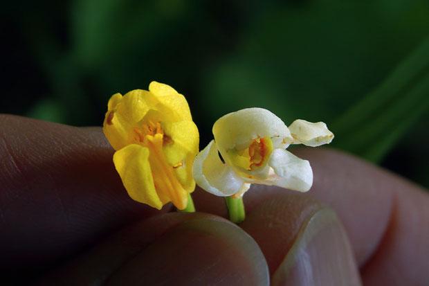 シロバナキンランの花は、普通のキンランよりやや小さく見えた。 この個体だけの特徴かも知れません