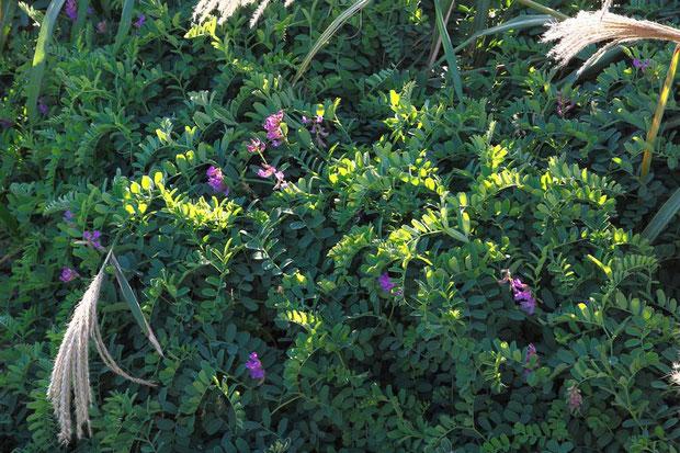 ヒロハクサフジ (広葉草藤) マメ科 ソラマメ属  海岸の日当たりのよい草地に生えます