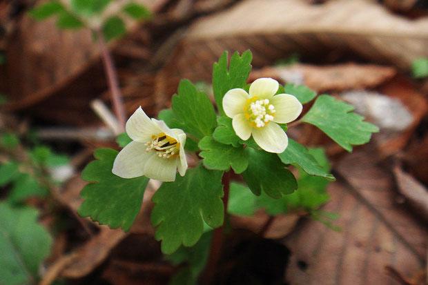 萼片が反り返り、中に黒っぽいものがある(虫ではない)変わったトウゴクサバノオの花があった(左)