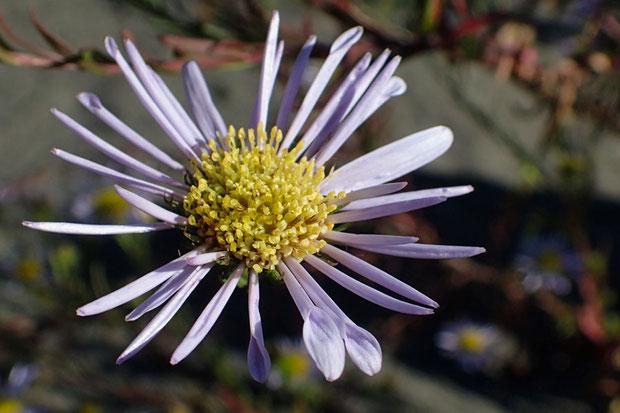 よく見ると、舌状花のほぼすべてが筒状になっているので幅が狭く見えると判明。 先端部の形状は様々。