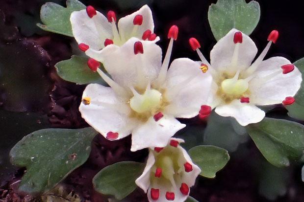 ハナネコノメ アップでもう1枚。 中央の花の8個の葯のうち2個が裂開し、黄色の花粉が見えます。