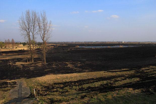 広大なヨシ原が焼け野原になりました