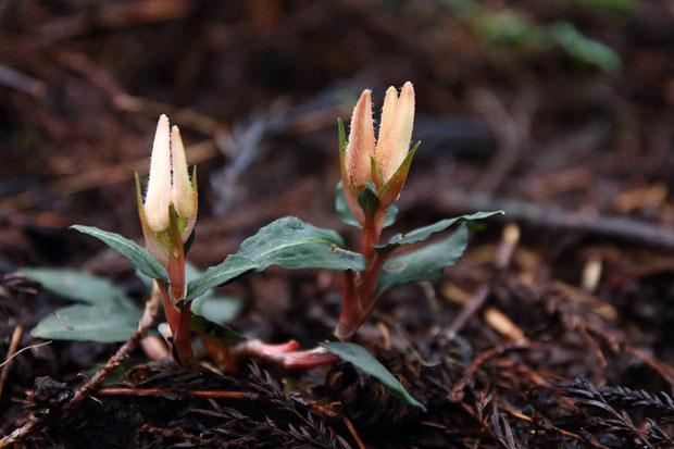 ベニシュスラン (紅繻子蘭) ラン科 シュスラン属  開花直前の状態 針葉樹林下に咲いていた